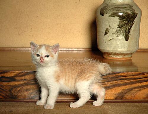 Japanese Cat Japanese Bobtail